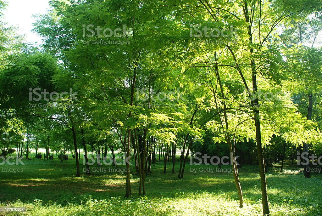 Sunlit Forest royalty-free stock photo