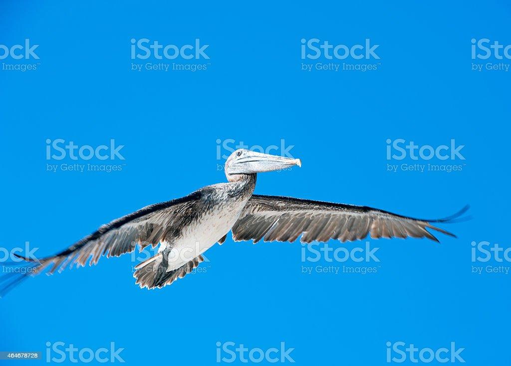 Sunlit glider - Brown Pelican, Galapagos Islands stock photo