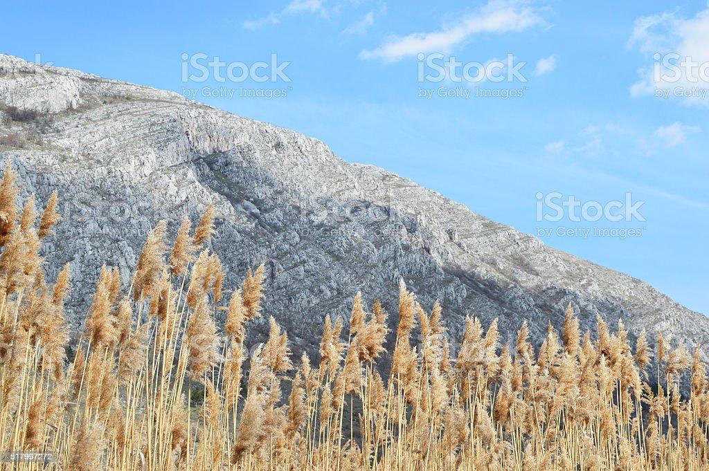 Sunlit golden reeds stock photo