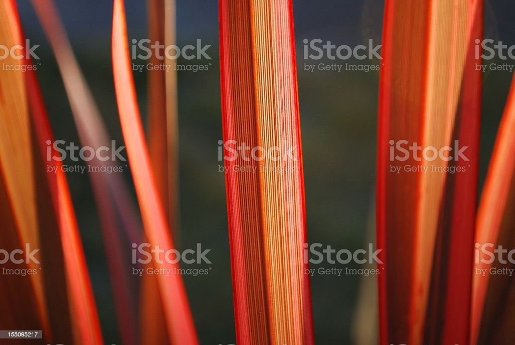 Sunlit Harakeke Leaves (NZ Flax) stock photo