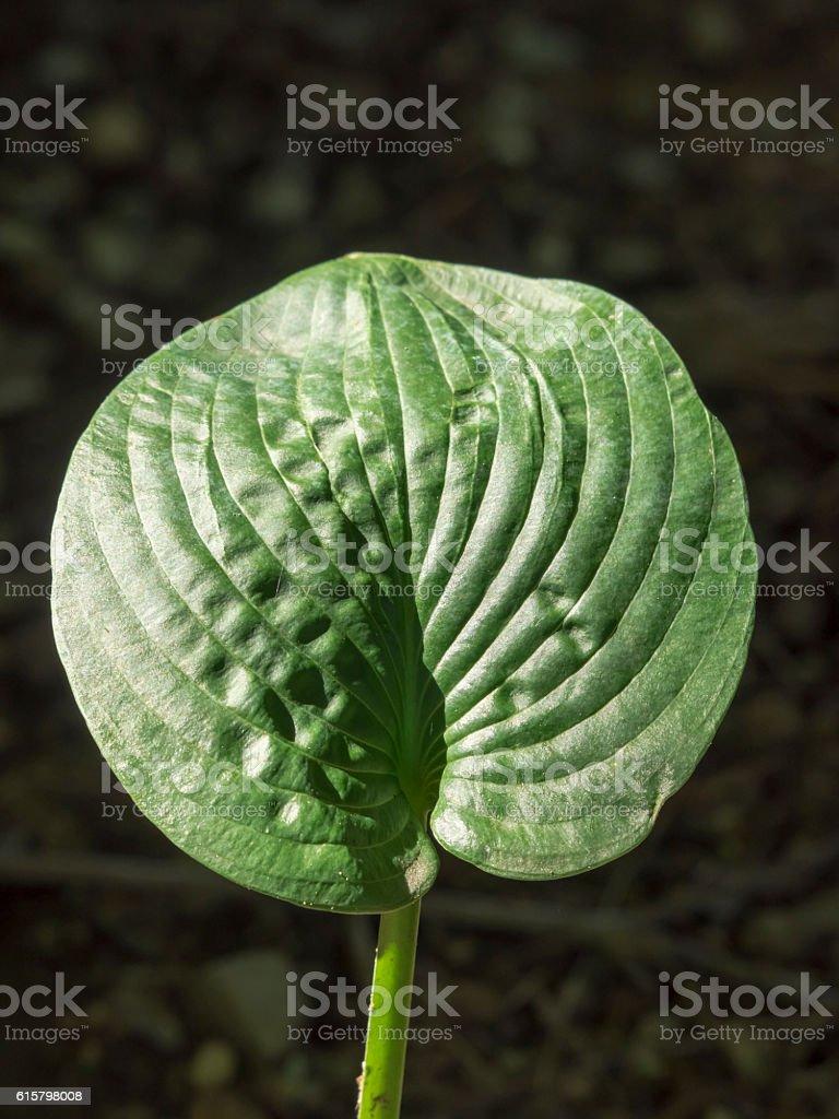 Sunlit Hosta Leaf stock photo