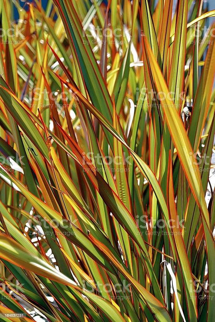 Sunlit 'Maori Queen' Flax (Harakeke) stock photo
