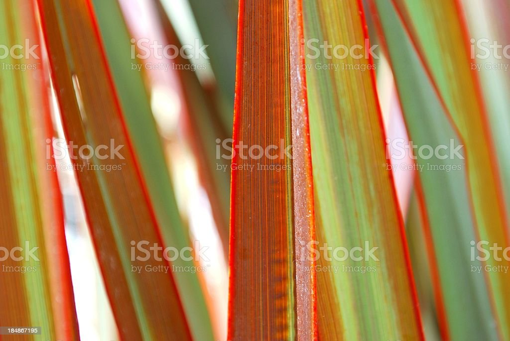 Sunlit 'Maori Queen' Flax (Harakeke) royalty-free stock photo