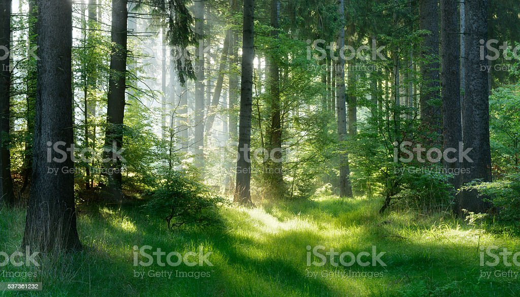 Sunlit Natural Spruce Tree Forest stock photo