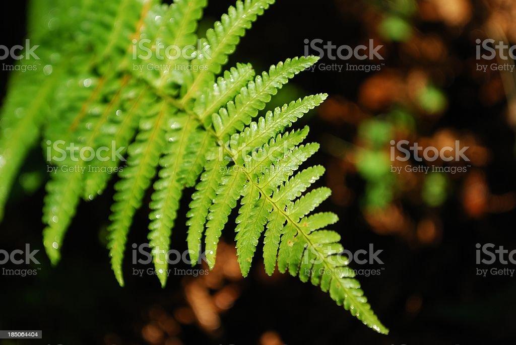 Sunlit New Zealand Fern Frond stock photo