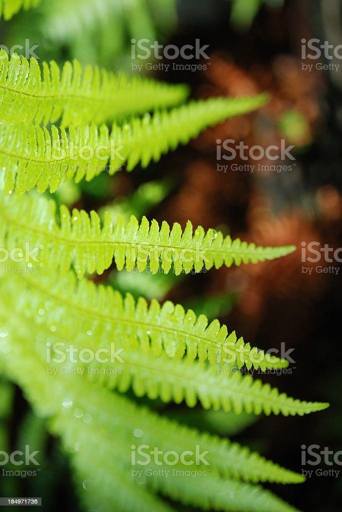 Sunlit New Zealand Punga (Ponga) Fern Frond stock photo