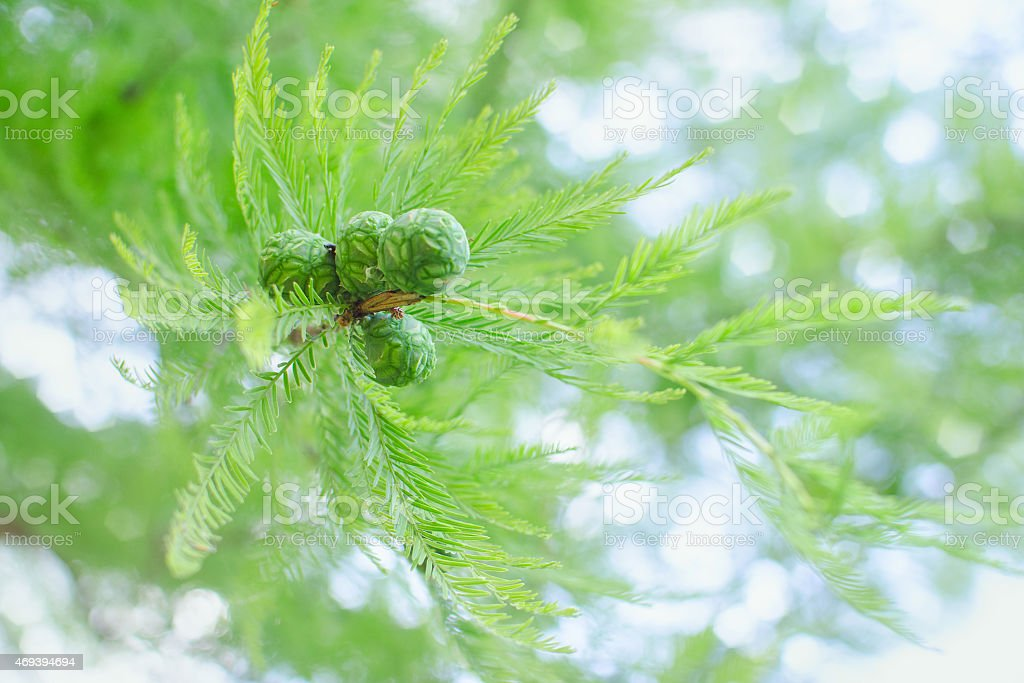 Sunlit pastel cypress branch with lush foliage and green cones stock photo