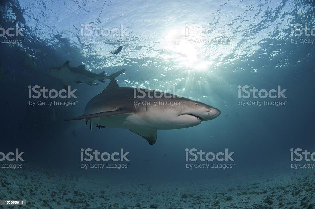 Sunlit shark stock photo