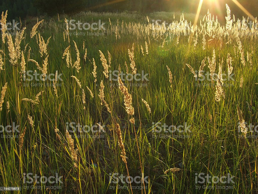 sunlit spikes royalty-free stock photo