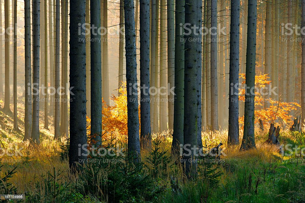 Sunlit Spruce Tree Forest in Autumn royalty-free stock photo