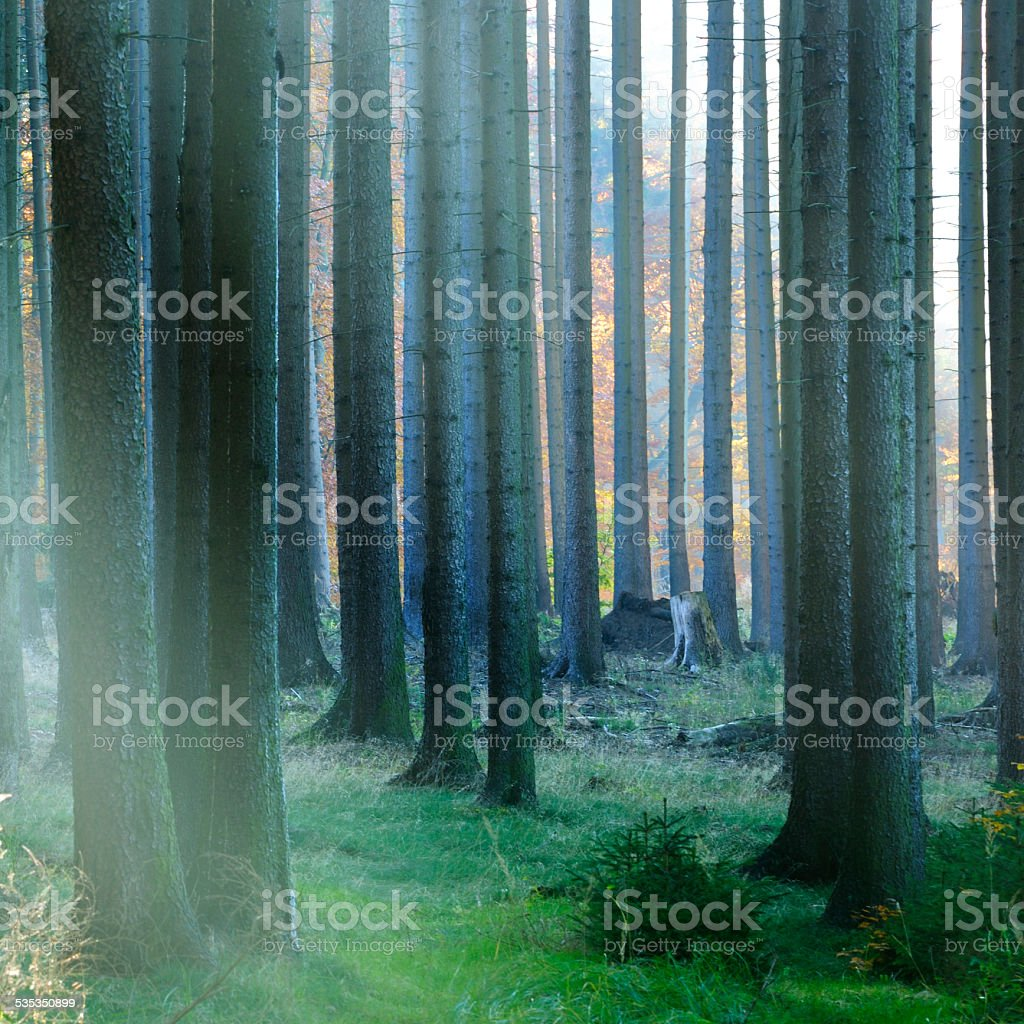 Sunlit Spruce Tree Forest in Autumn stock photo