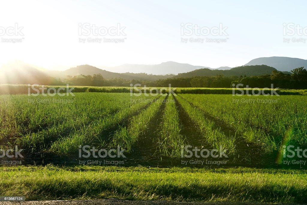 Sunlit sugar cane farm stock photo