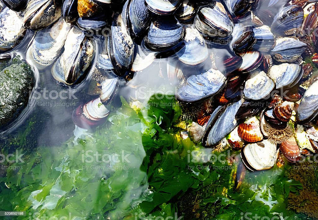 Sunlit tidal pool crowded with living mussels stock photo