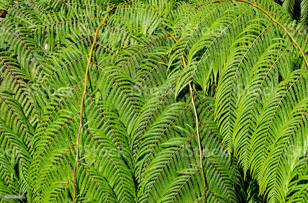Sunlit tree fern leaves nature background stock photo