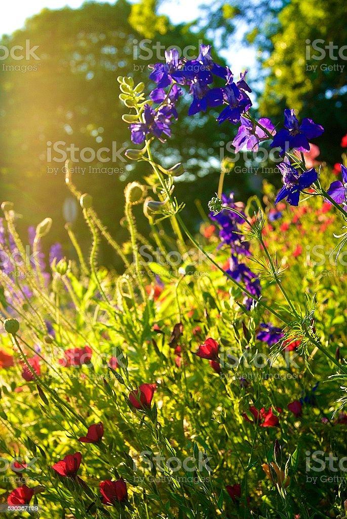 Sunlit Wildflowers royalty-free stock photo