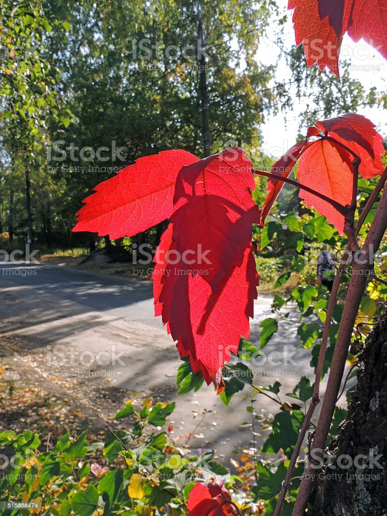 Sunlited leaves of Parthenocissus stock photo