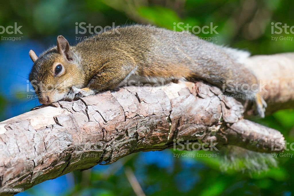 Sunning Squirrel stock photo
