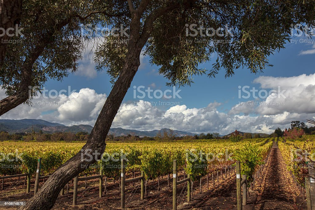 Sunny, autumn day at Napa Valley vineyard with olive trees stock photo