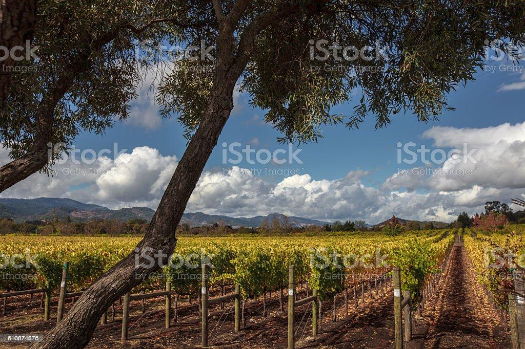 Sunny, autumn day at Napa Valley vineyard with olive trees stock photo