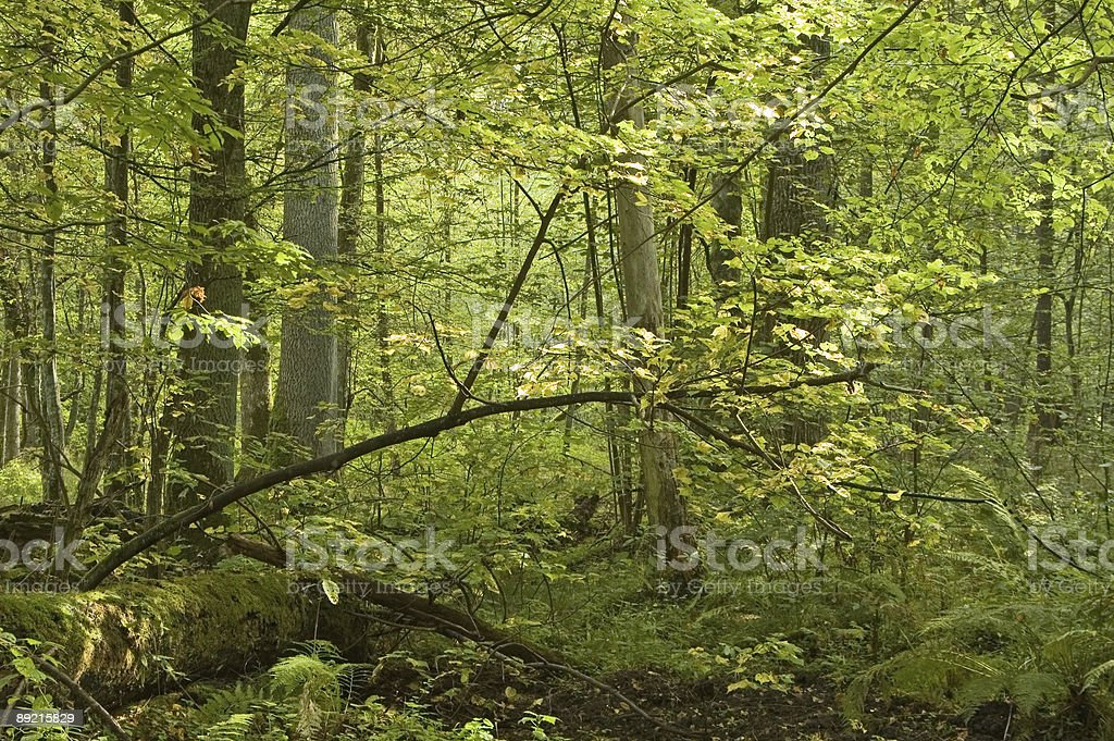 Sunny autumnal morning in natural forest royalty-free stock photo