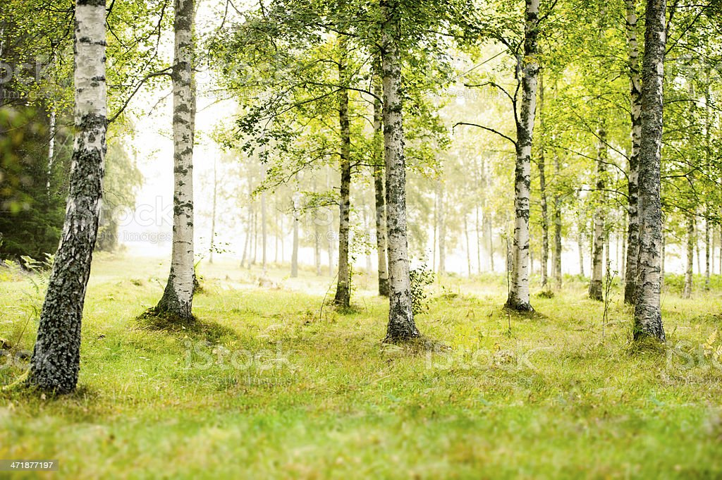 Sunny birch grove on a cool spring day stock photo