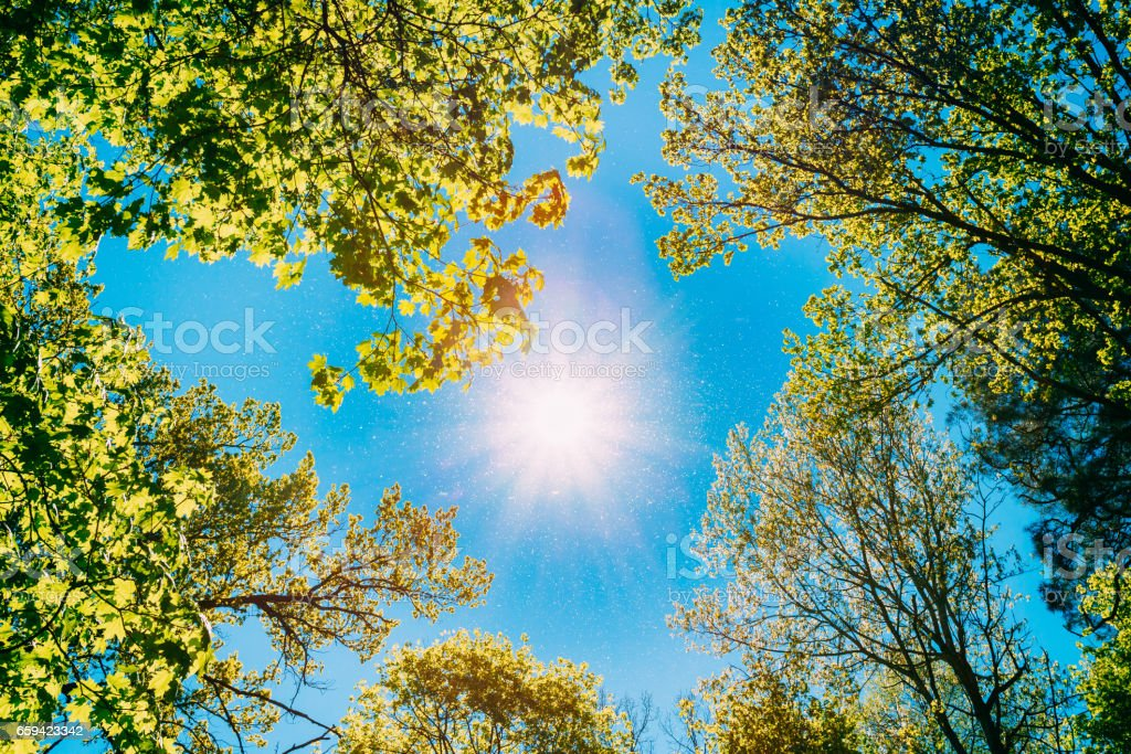 Sunny Canopy Of Tall Trees. Sunlight In Deciduous Forest, Summer Nature. Upper Branches Of Tree. Low Angle View. stock photo