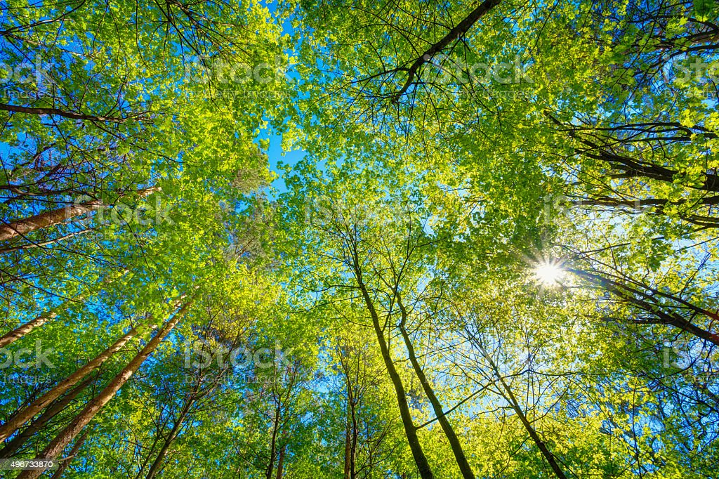 Sunny Canopy Of Tall Trees. Sunlight In Deciduous Forest, Summer stock photo