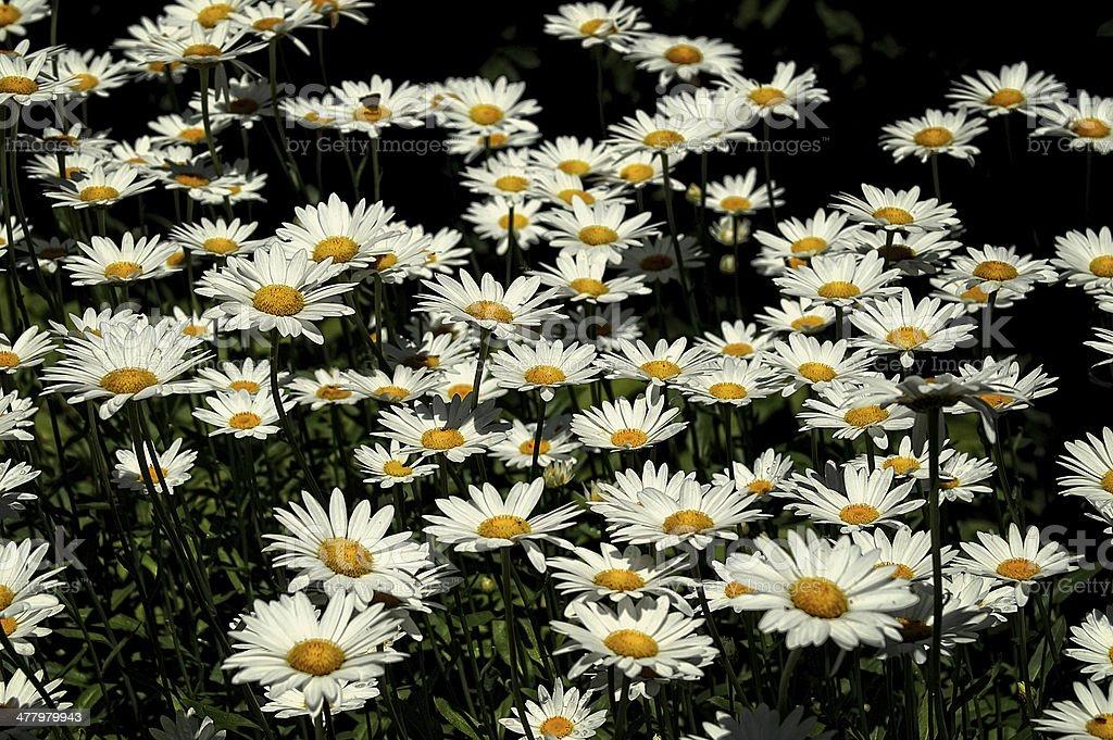 Sunny chamomile-daisy field royalty-free stock photo