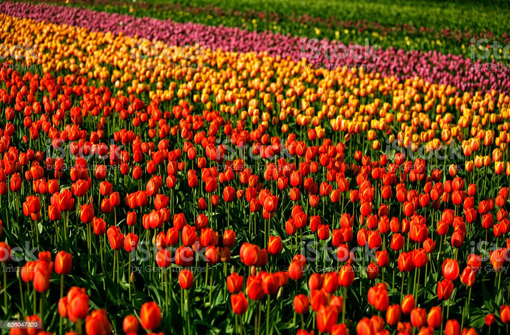 Sunny colorful tulip fields, Abbotsford, BC stock photo