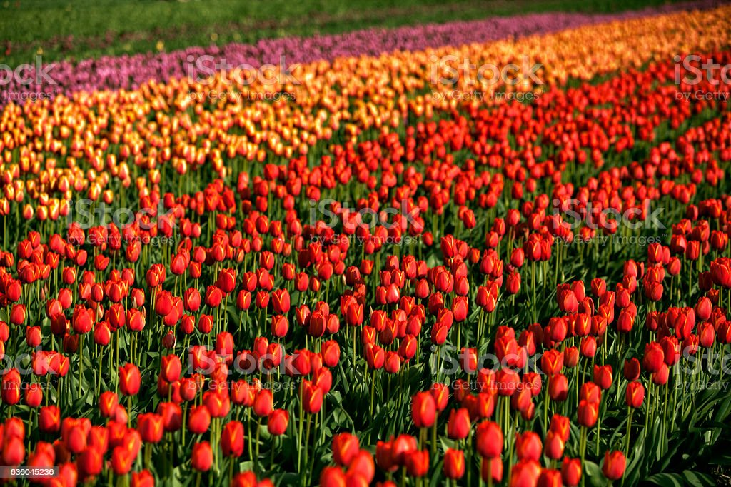 Sunny colorful tulip fields, Abbotsford,BC stock photo