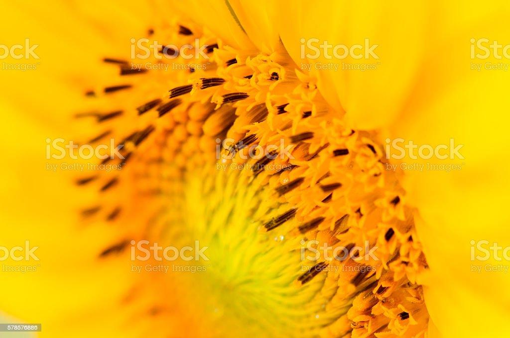 Sunny Corner, Sunflower, close up stock photo