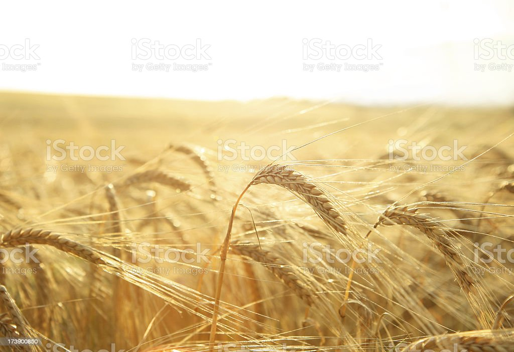 sunny crop stock photo