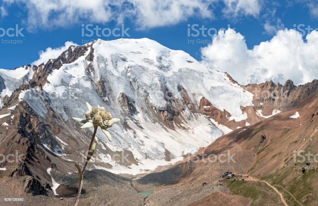 Sunny Edelweiss Snow Peak Blue Sky Clouds stock photo
