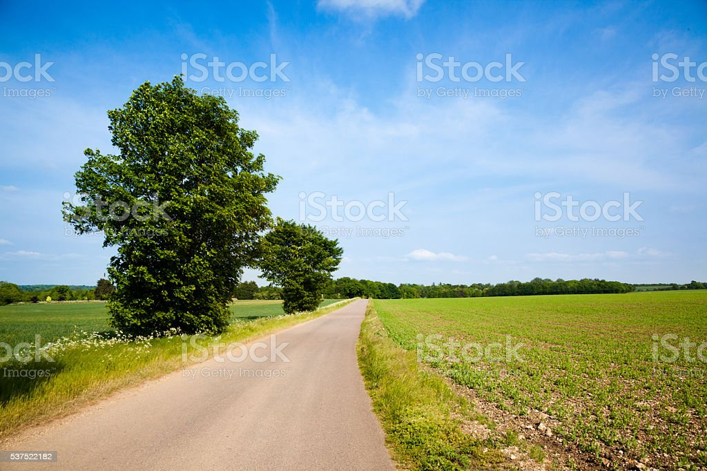 sunny  Essex spring countryside with track and growing peas stock photo