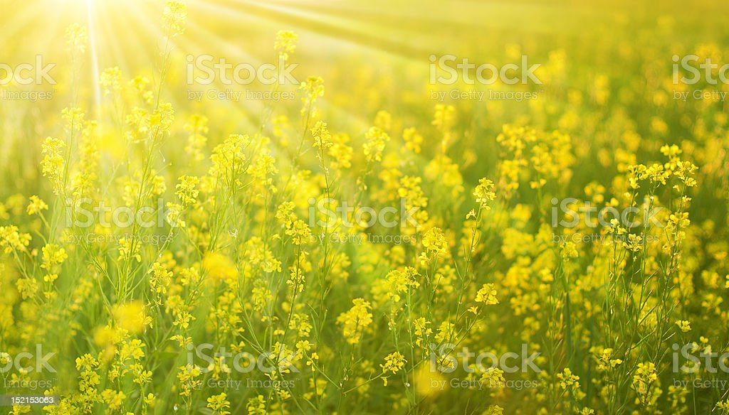 Sunny flower field stock photo