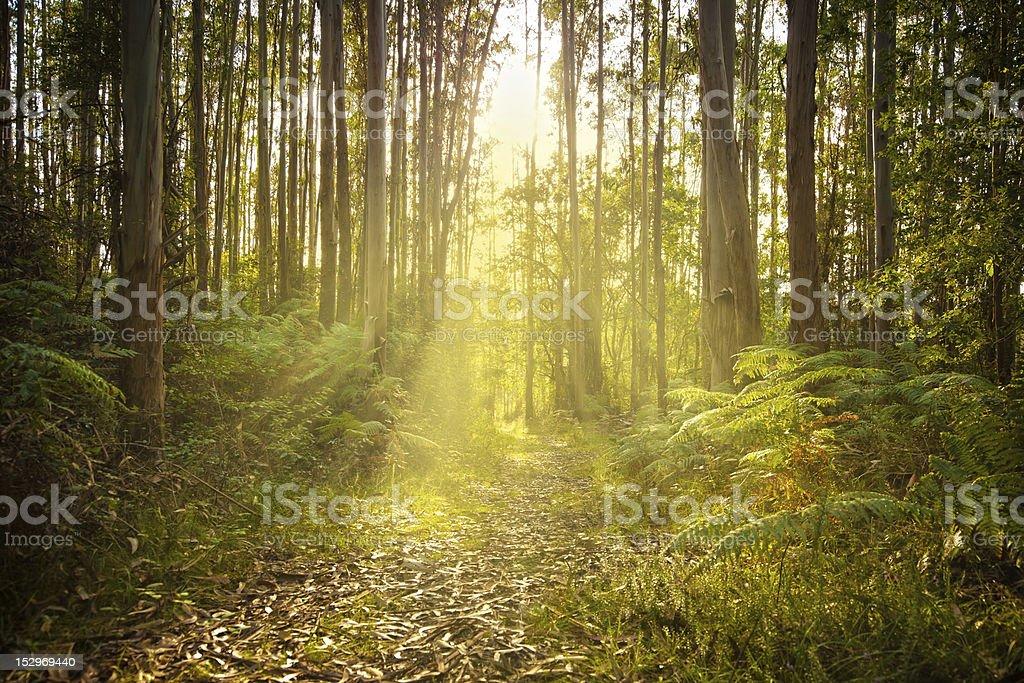 Sunny foot path through a eucalyptus forest stock photo