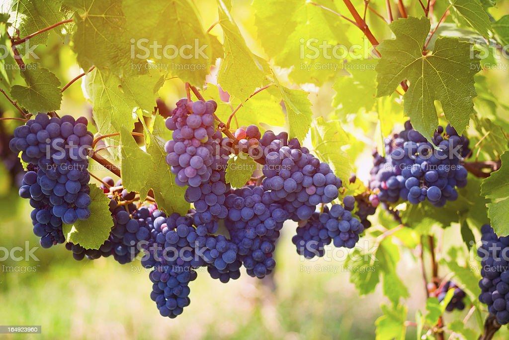 Sunny grape stock photo
