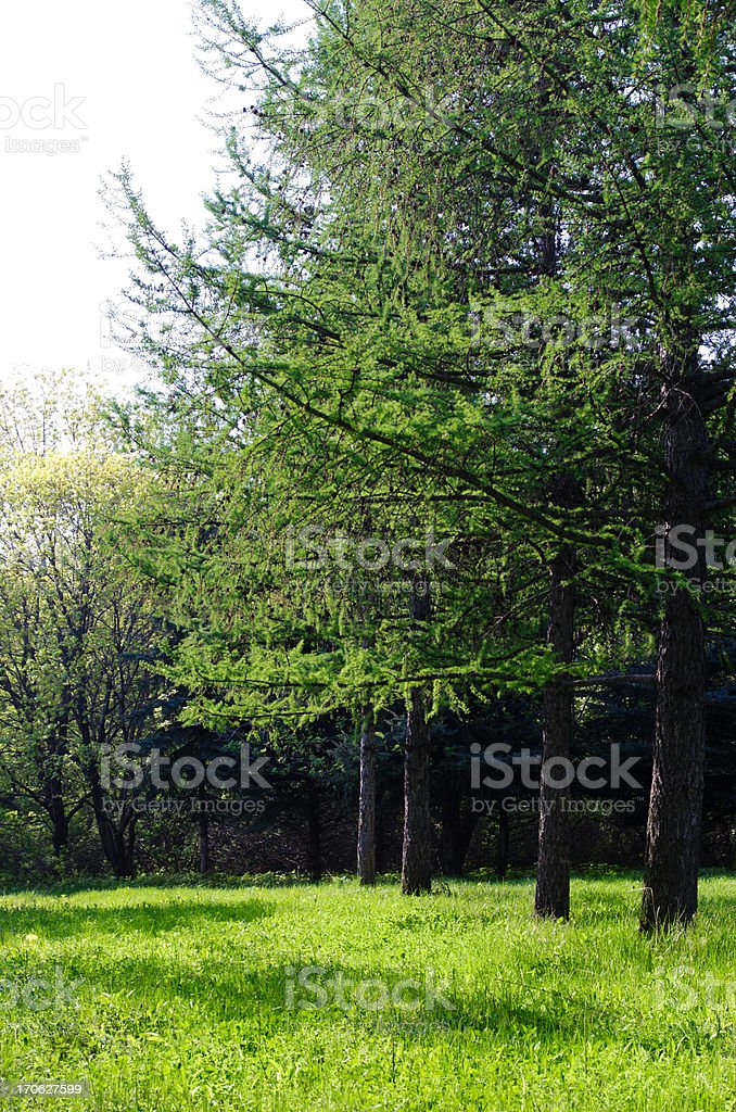 Sunny green forest royalty-free stock photo