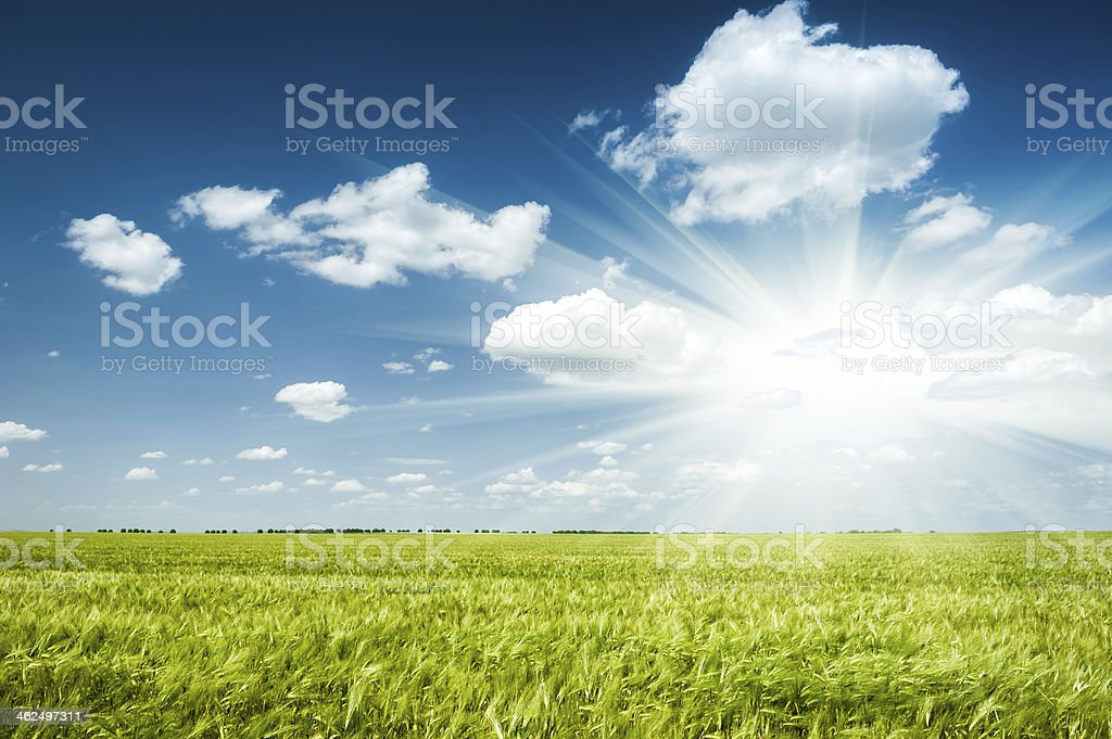 Sunny green wheat field stock photo