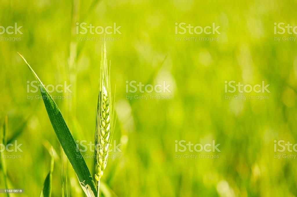 Sunny Green Wheat royalty-free stock photo