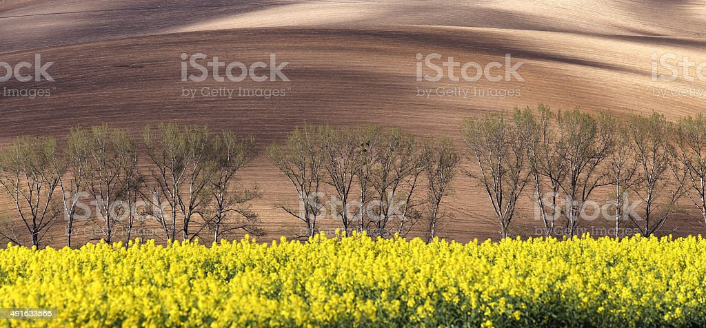 Sunny hills with trees and rapeseed flowers stock photo