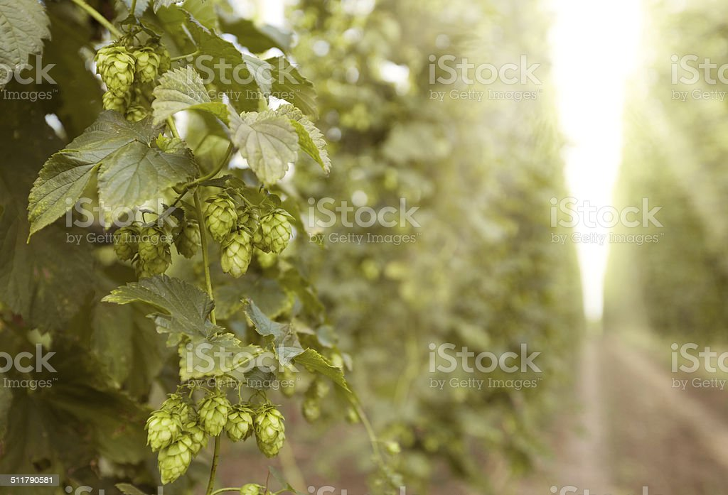 sunny hops field stock photo