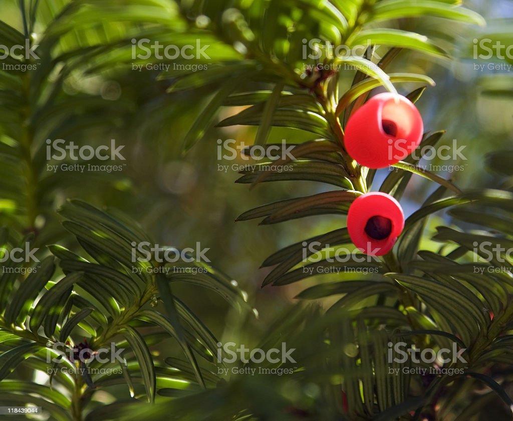 sunny illuminated yew fruits royalty-free stock photo