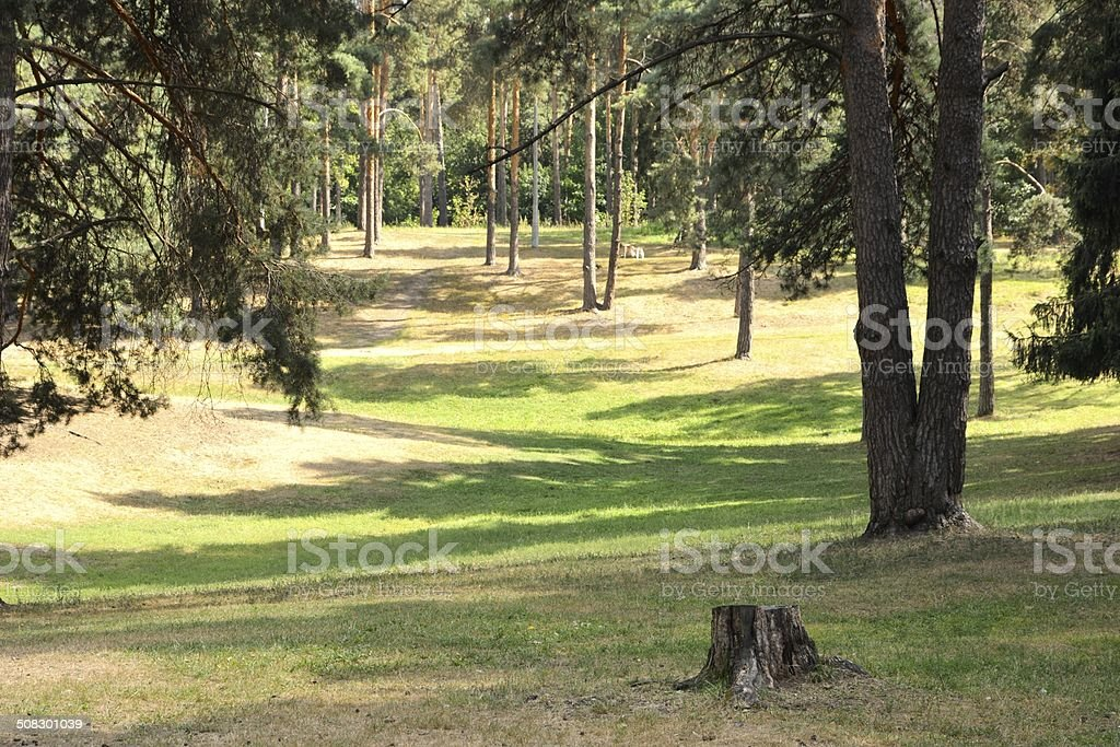Sunny meadow in the pine forest. stock photo