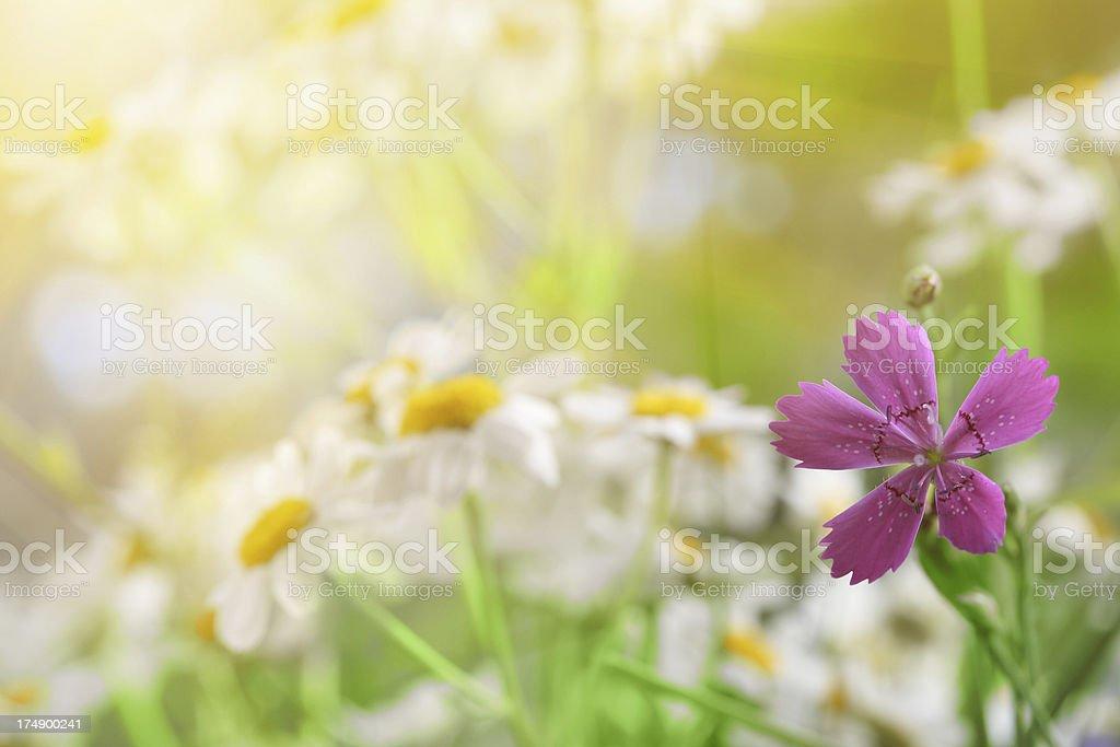 Sunny Meadow royalty-free stock photo