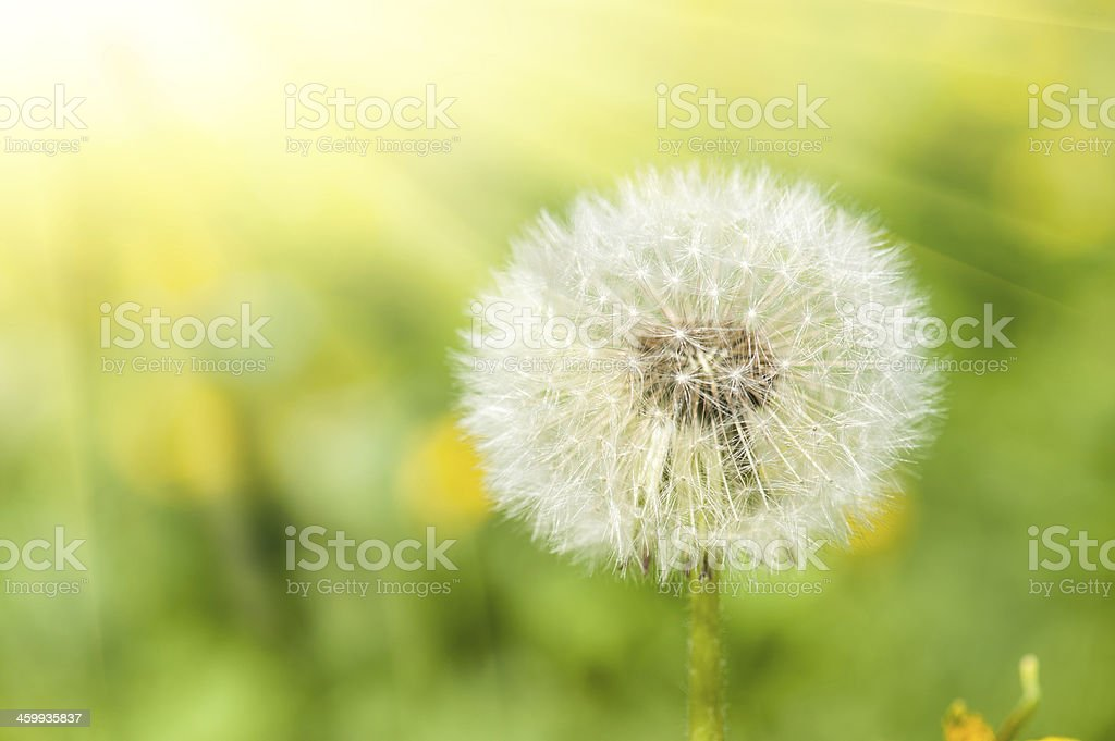 sunny meadow with dandelions stock photo
