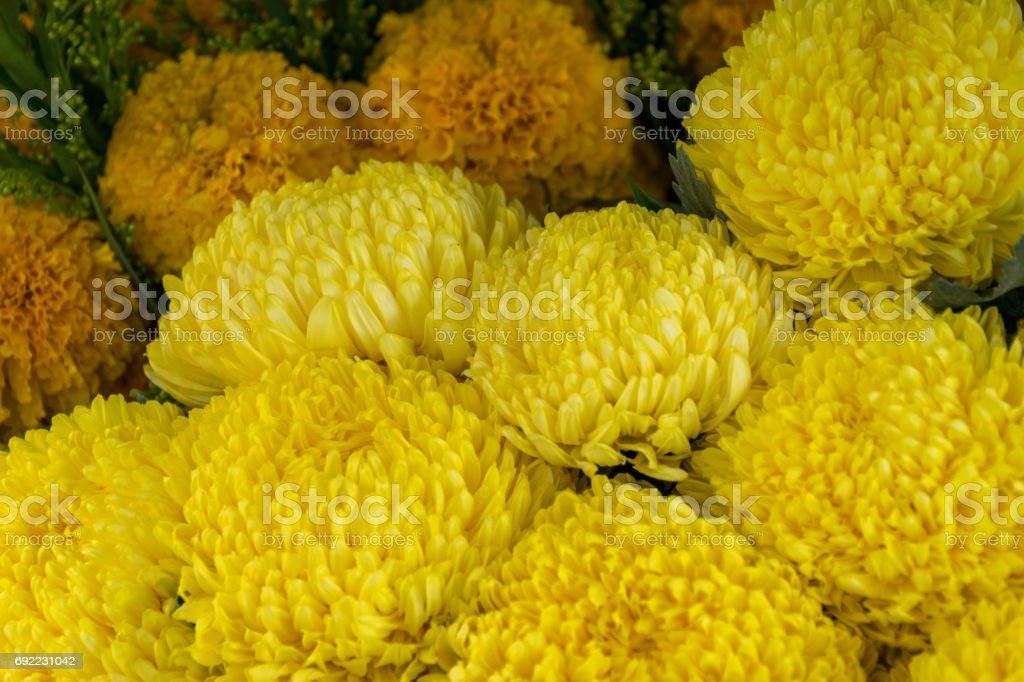 Sunny Monica Yellow Chrysanthemum Plant is flowers background stock photo
