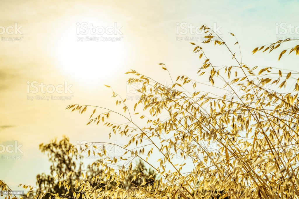 Sunny natural background with stems of wild oats in the golden light of the low sun. Avena sativa. stock photo