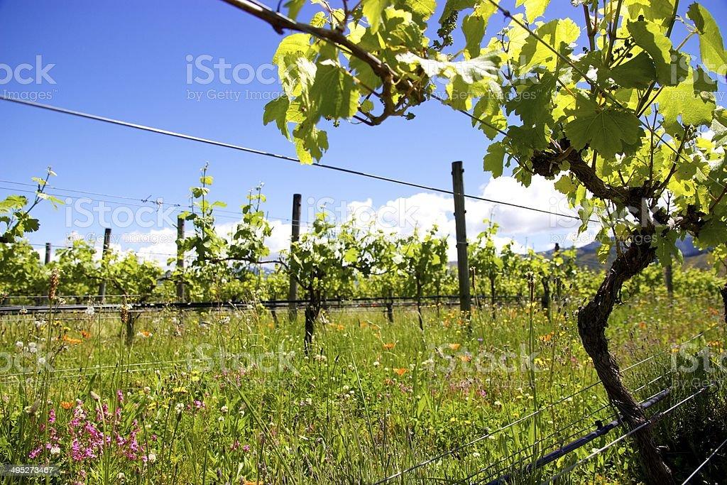 Sunny New Zealand vineyard stock photo