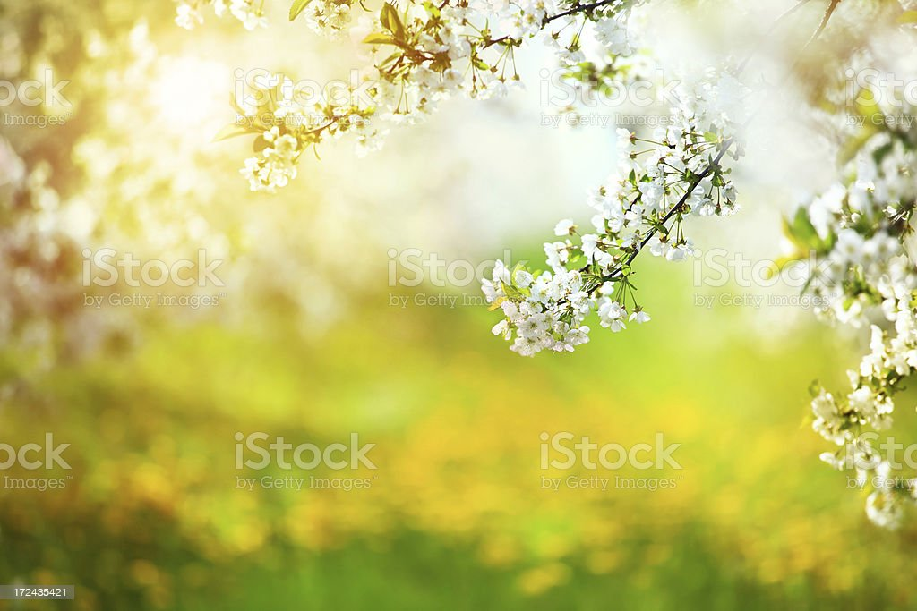 Sunny orchard - Spring Blooming Tree  XXXL royalty-free stock photo